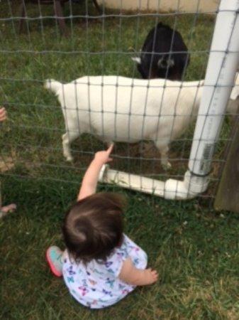 High Point, Kuzey Carolina: goats!