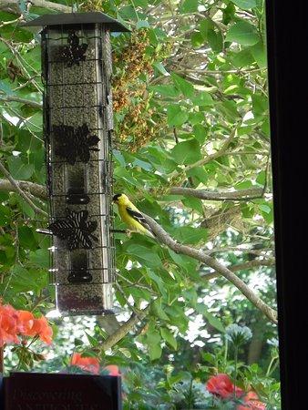 Lacombe, Canada: Goldfinch