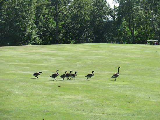 Poland Springs, Μέιν: Geese with babies walking across the golf course