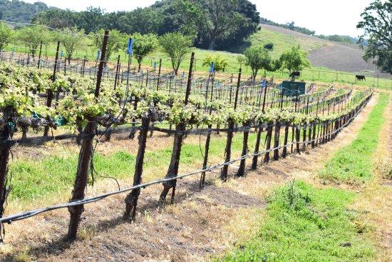 Paso Robles, كاليفورنيا: Oso Libre Vines