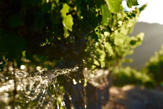 Paso Robles, Καλιφόρνια: Golden Hour In Our Cab Block