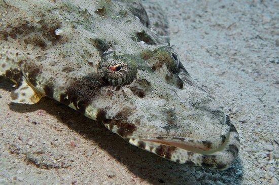 Gili Air, Indonesia: crocodile flathead fish