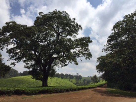 Limuru, Kenya: Kiambethu Tea Farm