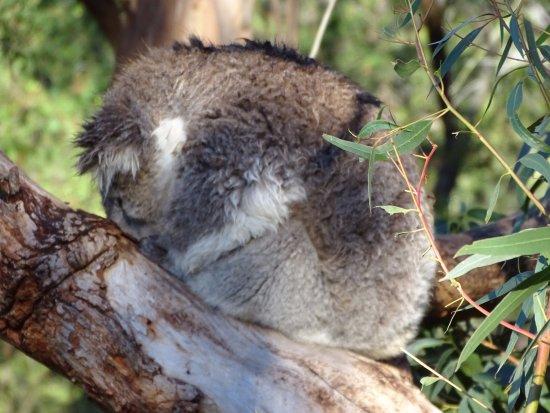Cowes, Australien: Phillip Island Nature Parks - Koala Conservation Centre