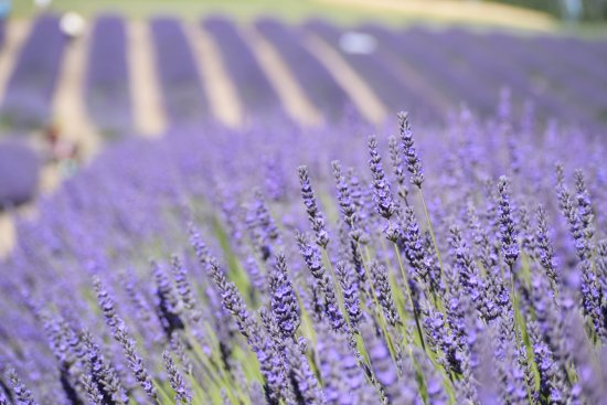 Sequim, WA: Lavender farms
