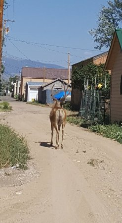 Saratoga, WY: Mule deer in the streets