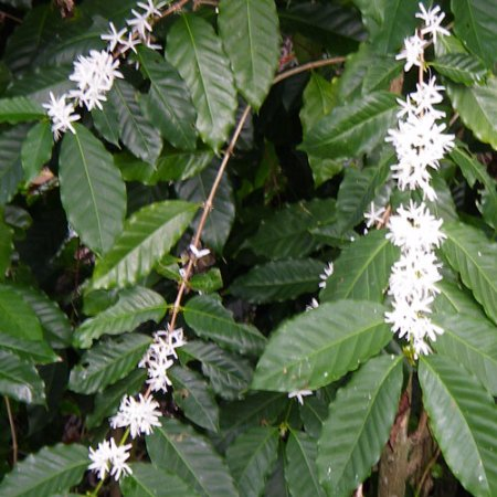 "Honaunau, Hawái: ""Kona snow"" - winter blossoms on our organic coffee trees"