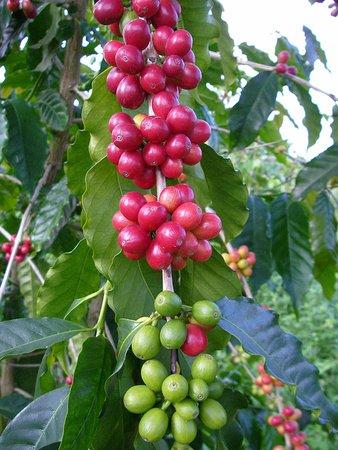 Honaunau, Гавайи: Coffee cherries ripening on our organic farm