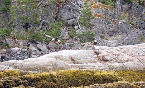 Lund, Canada: Eagles on the rocks