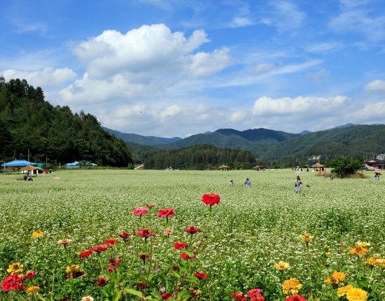 Gangwon-do, Corée du Sud : Hyoseok Cultural Festival (Buckwheat Flower Festival), Pyeongchang