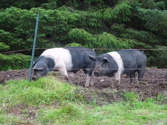 Duror, UK: Hogs near viewpoint