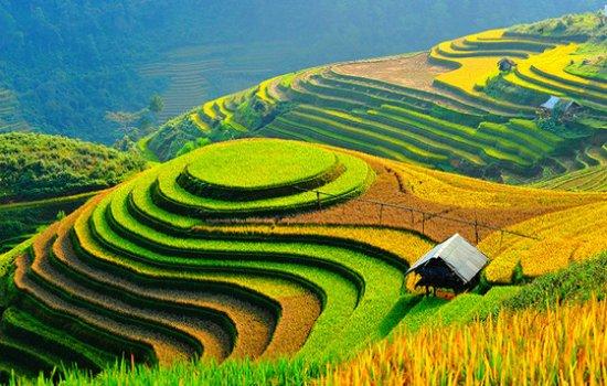 Phan Thiet, Vietnam: SAPA  VIET NAM - RICE FIELD