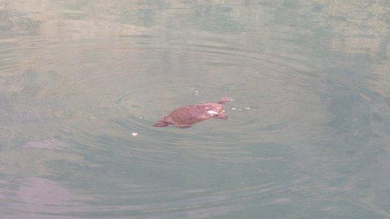 Κουρνάς, Ελλάδα: Wasserschildkröten