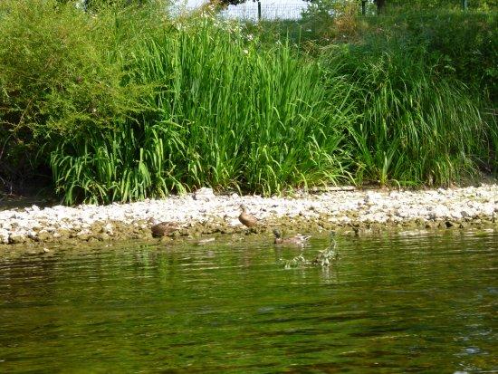 Civray-de-Touraine, France: canards
