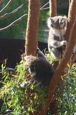 Healesville, ออสเตรเลีย: Two koalas being fed