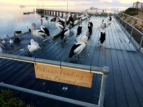 Kingscote, Australia: pelican feeding has ceased