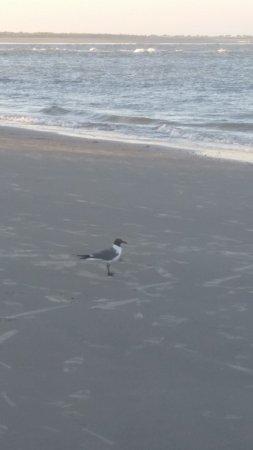 Folly Beach, ساوث كارولينا: Seagulls line the beach everywhere