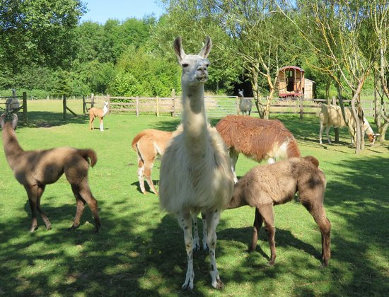 ‪‪Catanger Llamas‬: Gypsy caravan neighbours! ‬