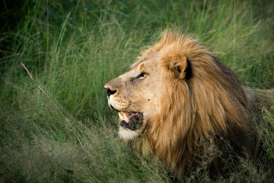 Madikwe Game Reserve, Zuid-Afrika: Beautiful big male lion on Morukuru Family private concession