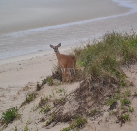 Linger Longer By The Sea: Dune Deer