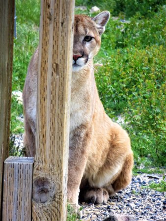Safe Haven Wildlife Sanctuary: Orphaned Cougar Patty Kay