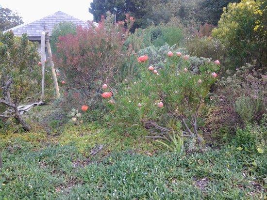 Hermanus, South Africa: Beautiful proteas