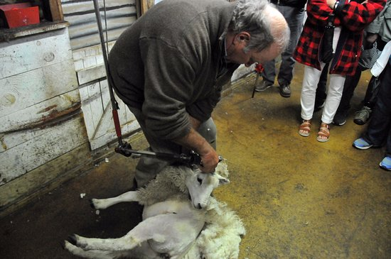 Fairlie, Νέα Ζηλανδία: Stan Shearing a sheep
