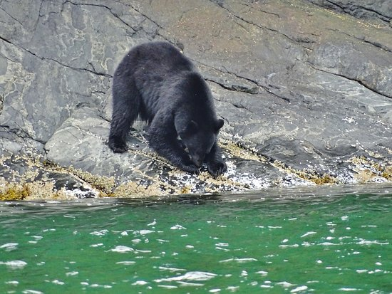 Telegraph Cove, Canada: Sort bjørn