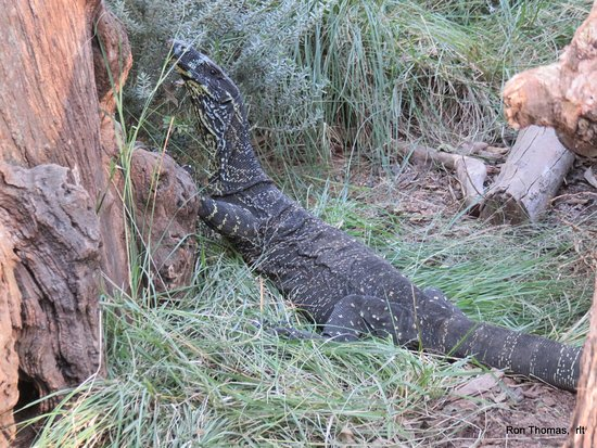 Blacktown, Australia: giant lizard