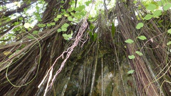 Atiu, Cookøyene: Wurzelwerk vor dem Höhleneingang