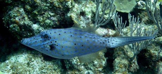 Pirates Point Resort: Scrawled filefish