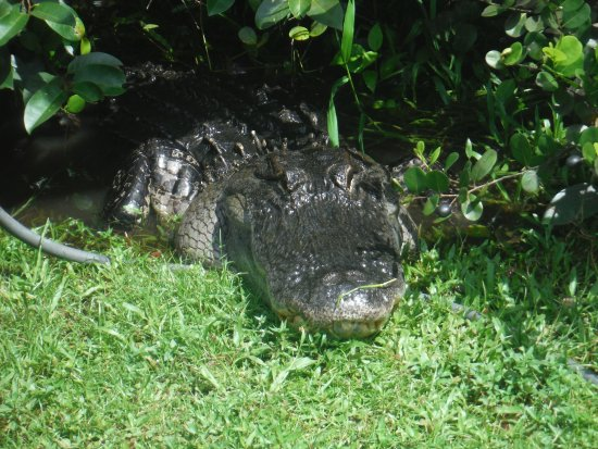 Tigertail Airboat Tours: got within about 4 feet of this guy....