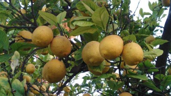 Cassibile, Italy: Albero di limoni
