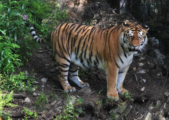 One Of The Tigers In Kristiansand Dyrepark Picture Of