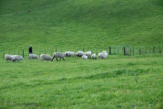 Matamata, Nueva Zelanda: Ian with the sheep