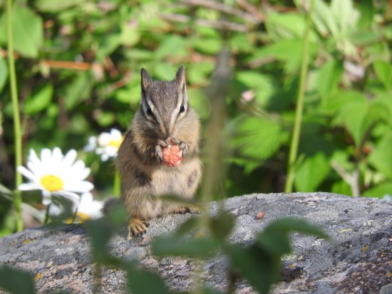 Hawley Mountain Guest Ranch: Cute chipmunk eating a wild raspberry outside of cabin
