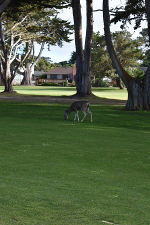 Pacific Grove Municipal Golf Course : Do not be surprised if you run accross a family of deer at the Pacific Grove golf course.