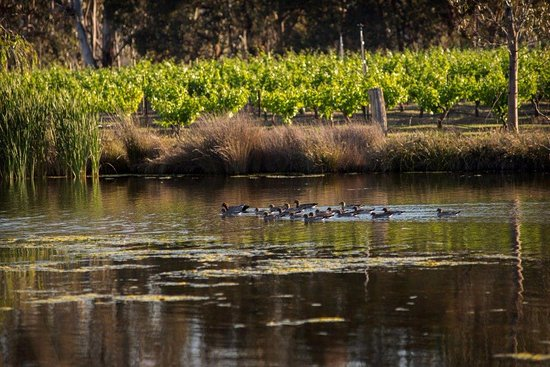 Moonambel, Australia: Ducks on the dam at the Summerfield Vineyard