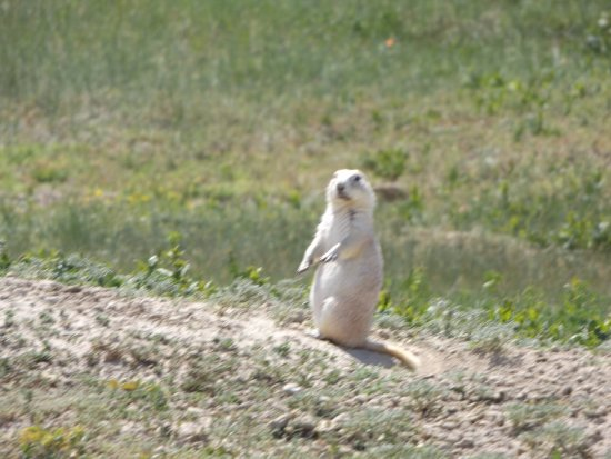 Prairie Homestead Historic Site: White prairie dog