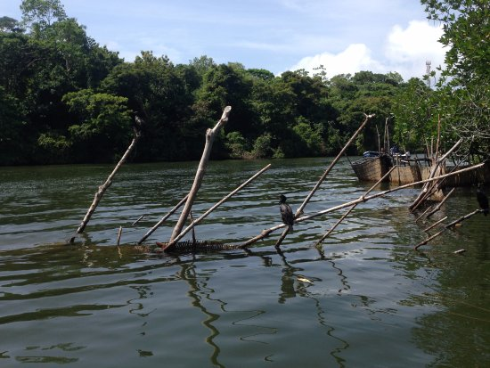 Bentota, Sri Lanka: Birds resting on the mangroves are a common sight on the river. The all-natural mangrove caves l