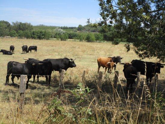"""Aigues-Mortes, Francia: """"Wild bulls"""""""