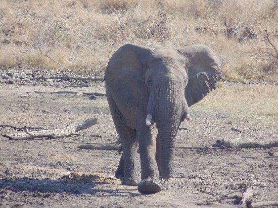 Pilanesberg Safaris and Tours: Bull elephant
