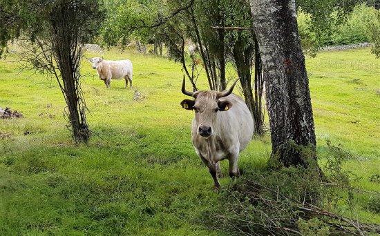 """Hassleholm, Swedia: De """"vilde tyre"""" er meget nysgerrige og af hunkøn"""