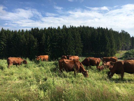 Tanne, Tyskland: Entlang der Wanderwege treffen Sie öfter mal auf das Rote-Harzer-Höhenvieh
