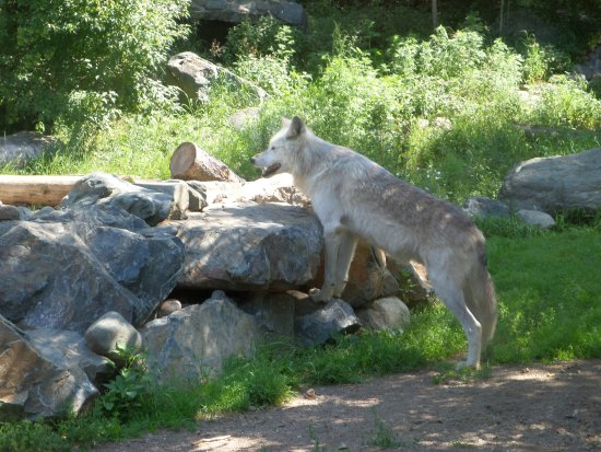 Ely, MN: Wolf from viewing area