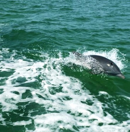 Bradenton Beach, Floryda: Dolphin keeping in the wake of the boat