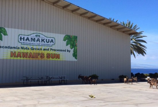 Kawaihae, Havai: Wild goats came by for a drink.
