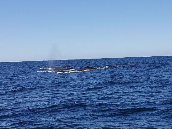 Whales in Paradise - Gold Coast Whale Watching Pty Ltd : spotted 3 whales