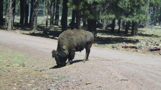 วิลเลียมส์, อาริโซน่า: buffalo bearizona williams