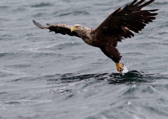 Taynuilt, UK: White Tailed Eagle - Mull July 17